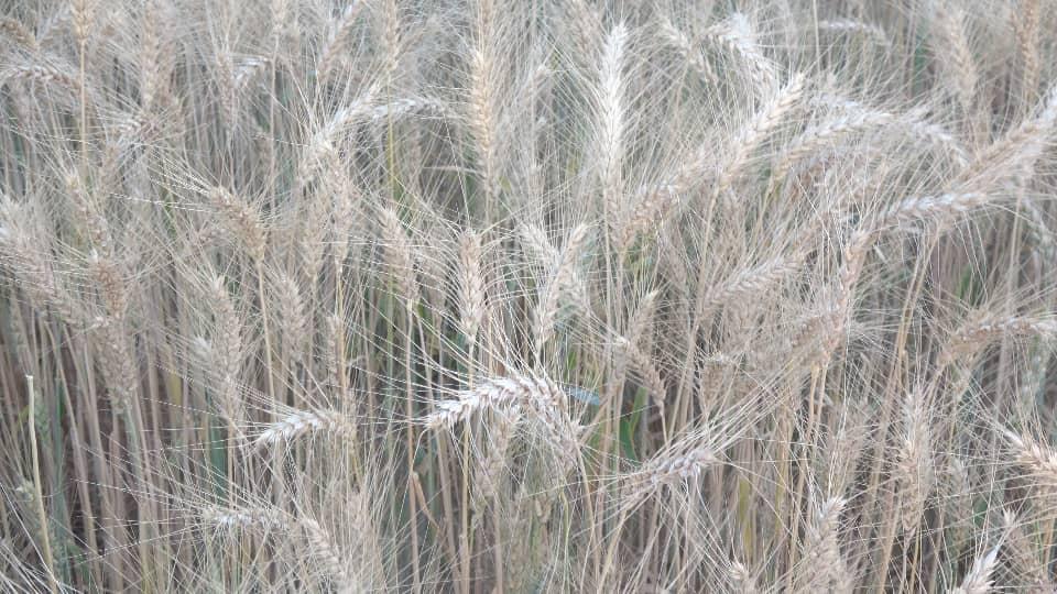 التدشين الحصاد (12)