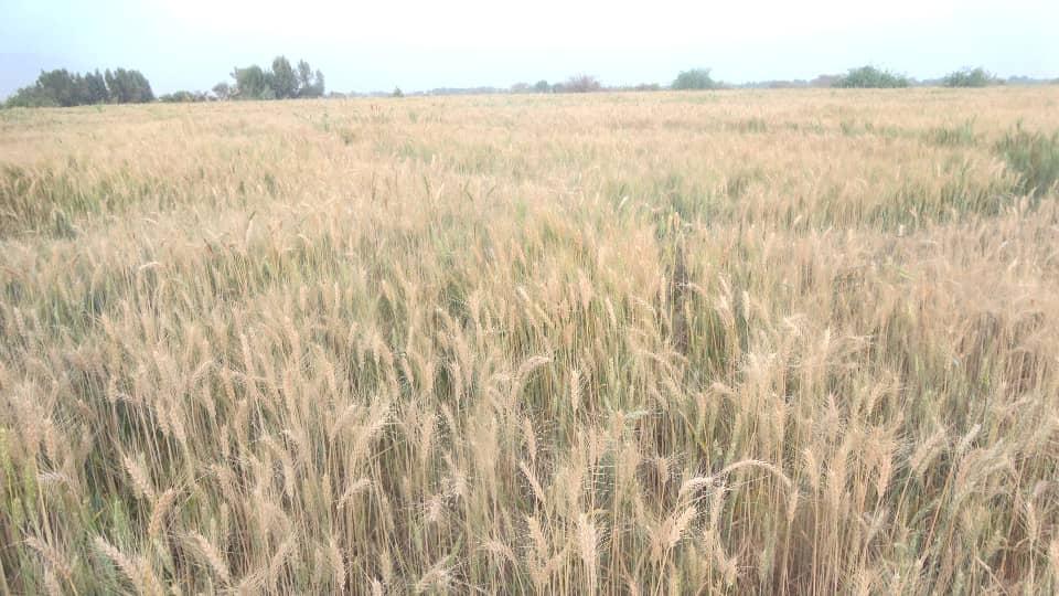 التدشين الحصاد (14)