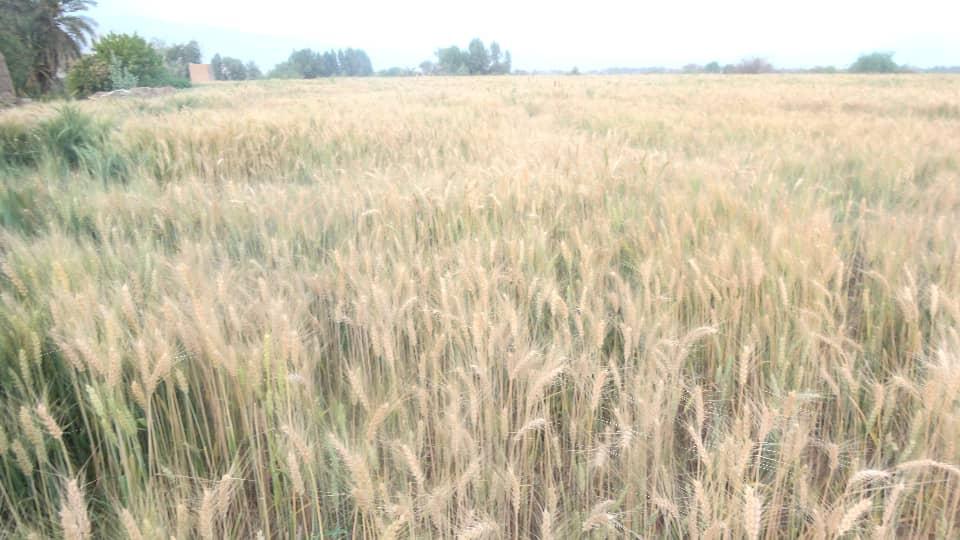 التدشين الحصاد (9)